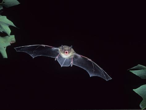 A Little Brown Bat in Flight Echolocating at Night, Myotis Lucifugus, North America Photographic Print