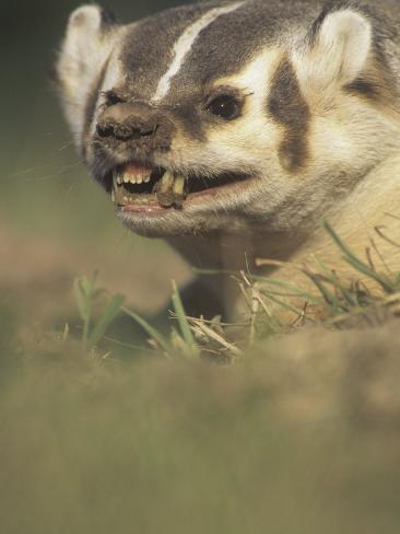American Badger, Taxidea Taxus, Snarling When Disturbed While Digging its Burrow, North America Photographic Print