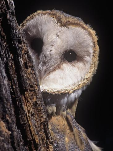 Barn Owl Face Peering from Behind a Tree Trunk, Tyto Alba, a Threatened Species, North America Photographic Print