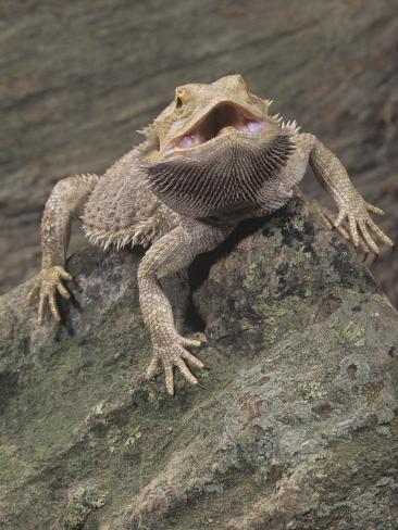 Bearded Dragon, Pogona Barbata, Formerly Amphibolurus Barbatus, Threat Display, Australia Photographic Print