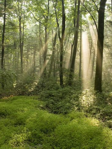 Deciduous Forest with Rays of Sunlight, Bald Eagle State Park, Pennsylvania, USA Photographic Print