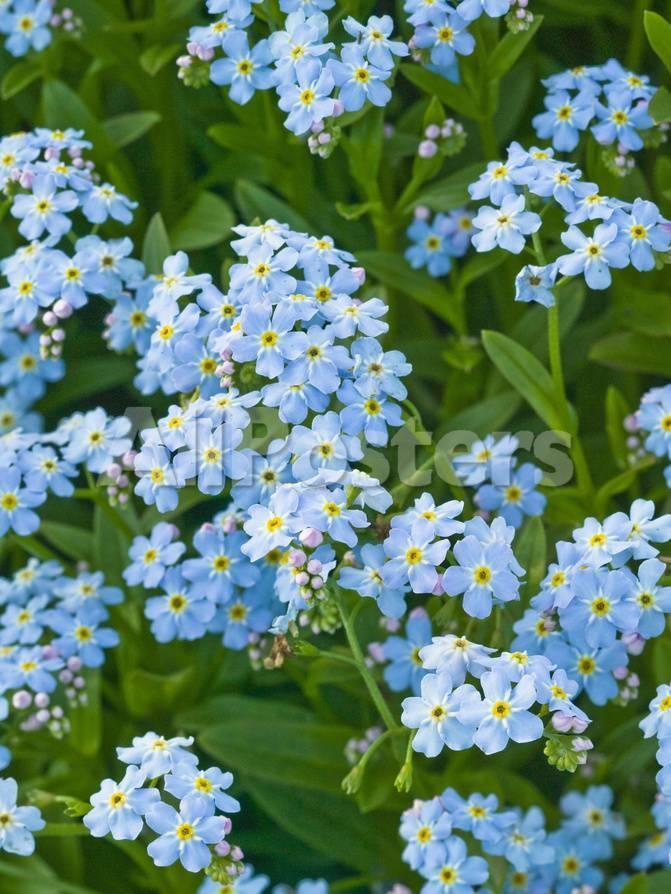 Forget Me Not Flowers Myosotis Alpestris Alaska State Flower