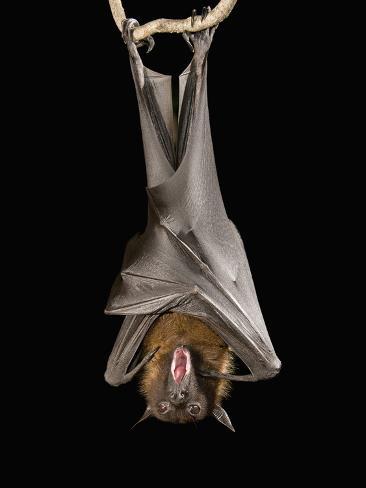 Giant Fruit Bat or Flying Fox (Pteropus Giganteus) Photographic Print