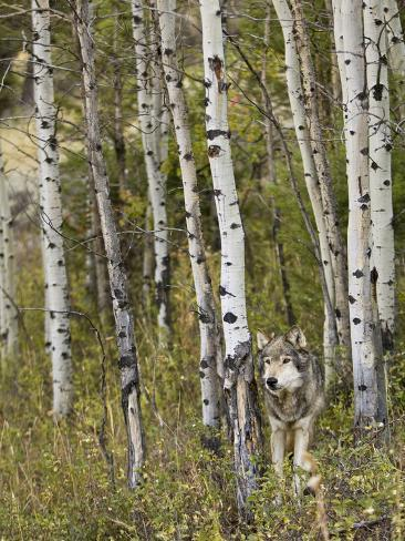 Gray Wolf (Canis Lupus), Wyoming, USA Photographic Print
