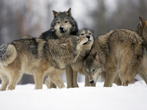 Gray Wolf Group (Canis Lupus), Montana, USA, Controlled Situation Photographic Print