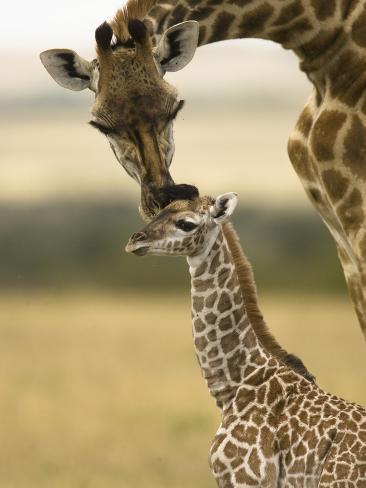 Masai Giraffe (Giraffa Camelopardalis) Grooming its Young, Masai Mara, Kenya Photographic Print