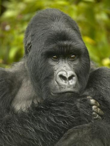 Mountain Gorilla, Gorilla Gorilla Beringei, Volcanoes National Park, Rwanda, Africa Photographic Print