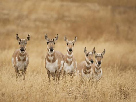Pronghorn (Antilocapra Americana) Group Standing in a Field in Yellowstone National Park, USA Photographic Print