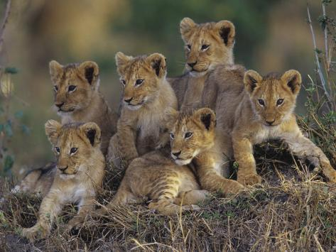 Six African Lion Cubs, Panthera Leo, Watching and Waiting for Mom to Return, Kenya Photographic Print
