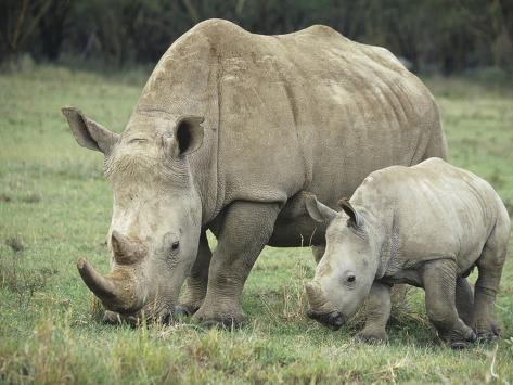 White Rhinoceros Mother and its Baby, Ceratotherium Simum, Nakuru, Kenya Photographic Print