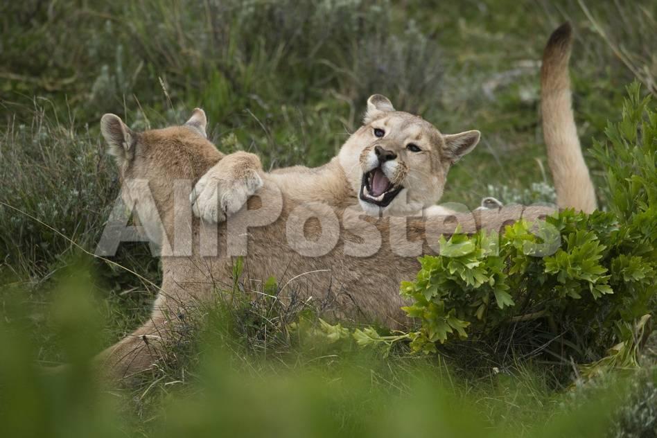 Wild Puma in Chile Lámina fotográfica por Joe McDonald en AllPosters.es