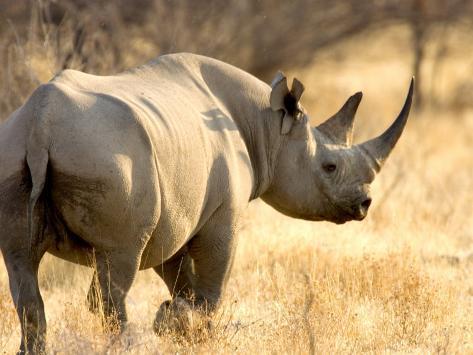 Black Rhinoceros at Halali Resort, Namibia Photographic Print