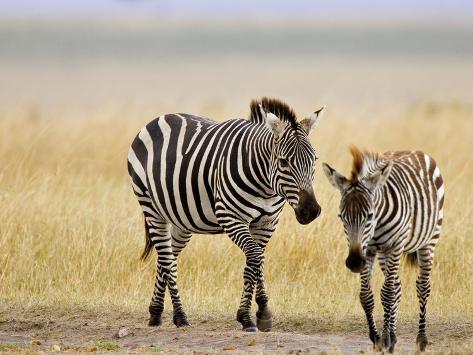 Zebra and Juvenile Zebra on the Maasai Mara, Kenya Photographic Print