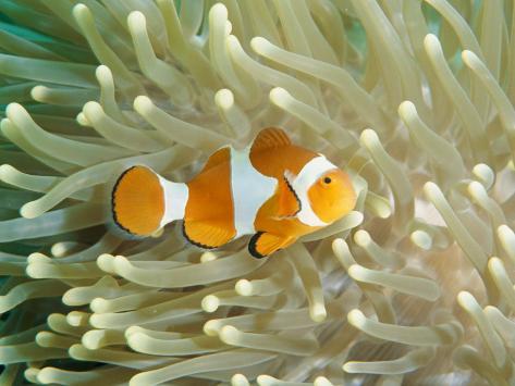 Clown Anemonefish in Sea Anemone, Pacific Ocean Lámina fotográfica