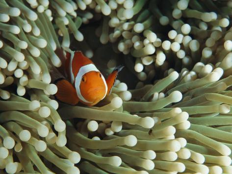 Clown Anemonefish in Sea Anemone, Pacific Ocean Photographic Print
