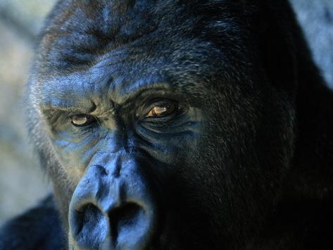 Close View of a Gorilla Photographic Print