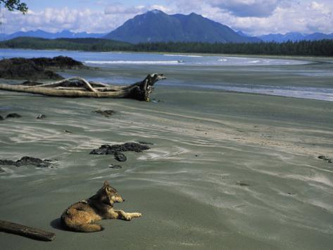 Gray Wolf on Beach Photographic Print