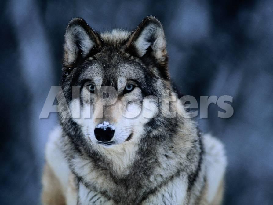 Lobo gris en el Centro Internacional de lobos cerca de Ely Lámina ...