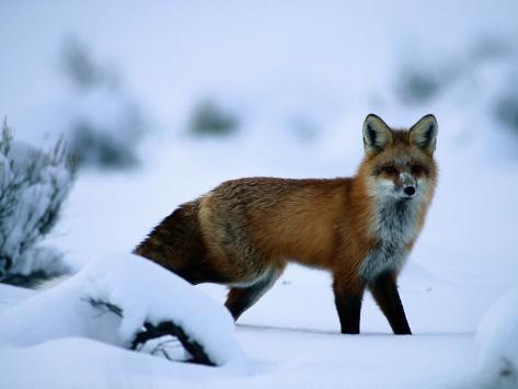 Red Fox (Vulpes Vulpes) Photographic Print