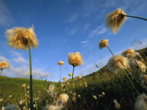 Windblown Cotton Grass Flowers on Adak Island, Alaska Photographic Print