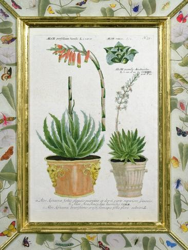 Aloe, C.1740 Giclee Print
