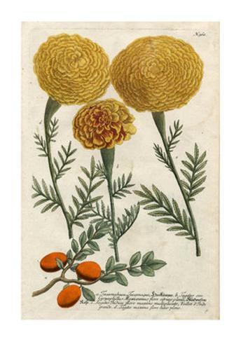 Marigold Magic I Premium Giclee Print