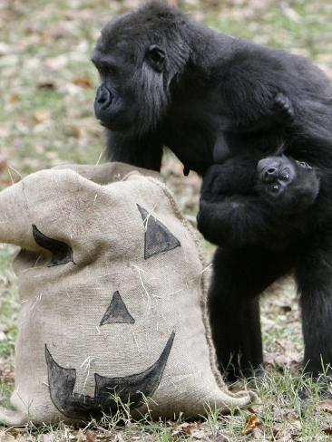 Sukari, an 8-Year-Old Mother Gorilla, Rummages Through a Trick or Treat Bag Photographic Print