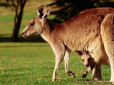 Kangaroo and Joey on Bellarine Peninsula, Barwon Heads, Victoria, Australia Photographic Print