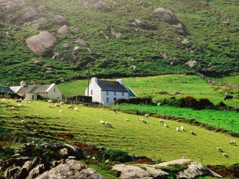 Sheep Grazing Near Farmhouses, Munster, Ireland Photographic Print
