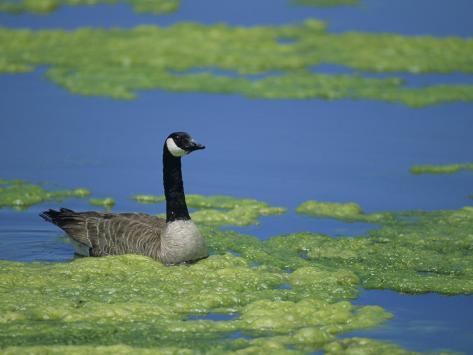 Canada Goose in a Eutrophic Pond, Branta Canadensis, North America Fotoprint