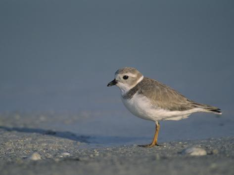 Piping Plover, a Threatened Species, Charadrius Melodus, . Usa., Charadrius Melodus Fotoprint