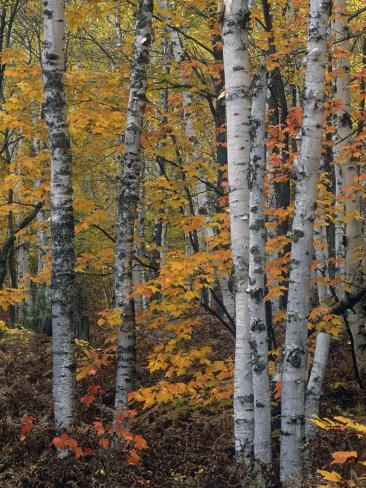 White or Paper Birch Forest in the Fall, Betula Papyrifera, North America Fotoprint