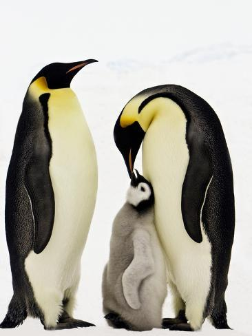 Emperor Penguins Feeding Chick Photographic Print