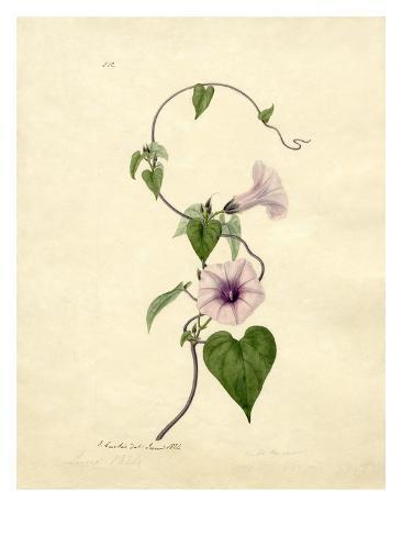 Convulvulus Giclee Print