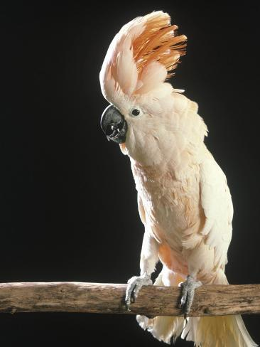 Moluccan Cockatoo Photographic Print