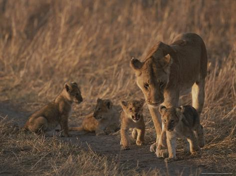 An African Lioness and Her Three-Month Old Cubs Photographic Print