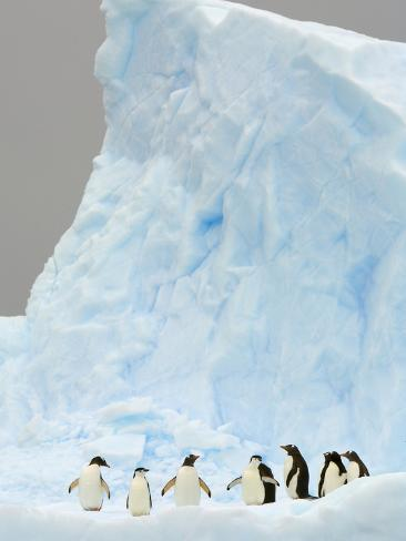 Gentoo and Chinstrap Penguins on Iceberg in Gerlache Strait Photographic Print
