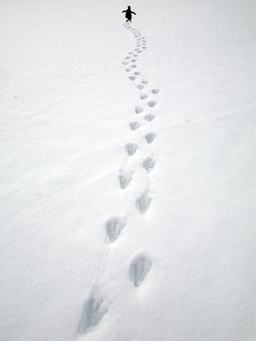 Gentoo Penguin Walking and Leaving Footprints in Snow Stampa fotografica