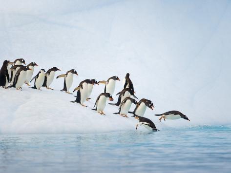Gentoo Penguins Jumping Off Iceberg into Gerlache Strait Photographic Print