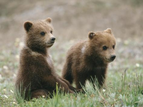 Two Grizzly Bear (Ursus Arctos Horribilis) Cubs Hang Out Together Photographic Print