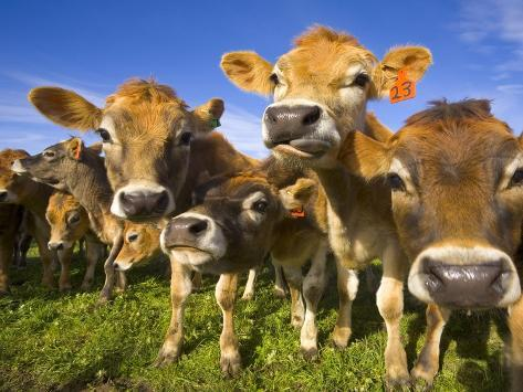 Young Calves in Pasture in New Zealand Photographic Print