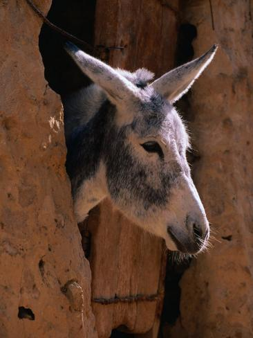 Donkey in Old Town, Siwa, Egypt Photographic Print