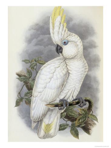 Blue Eyed Cockatoo Giclee Print