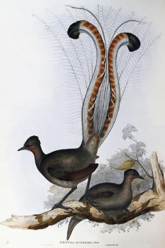 Superb Lyrebird (Menura Superba) Giclee Print
