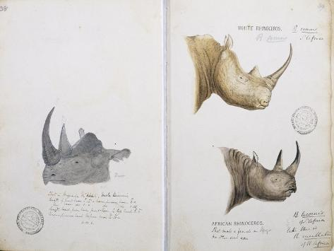 White Rhinoceros and African Rhinoceros, 1862 Giclee Print