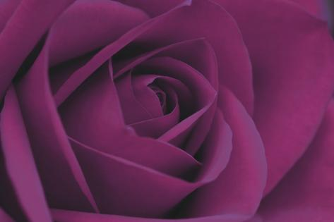 Persian Purple Rose Art Print