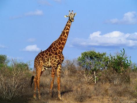 Giraffe Tsavo West National Park, Kenya Photographic Print