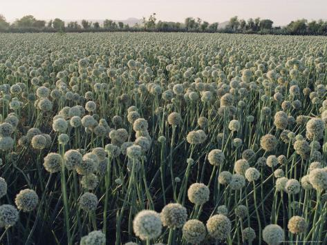 Onion Fields in Gujarat State, India, Asia Photographic Print