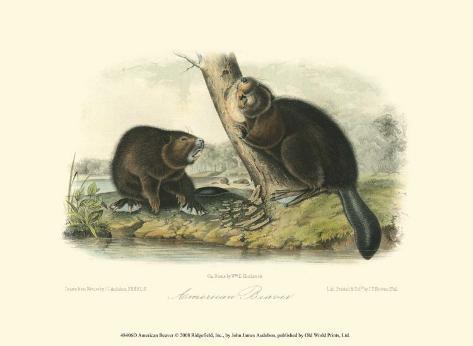 American Beaver Art Print