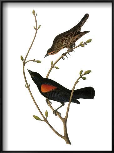 Audubon: Blackbird Framed Art Print